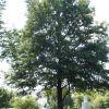 ARLINGTON CEMETERY LANDING CRAFT SUPPORT SHIPS WILLOW OAK MEMORIAL TREE