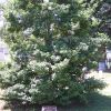 ARLINGTON CEMETERY 93RD BOMBARDMENT GROUP AMERICAN HOLLY MEMORIAL TREE